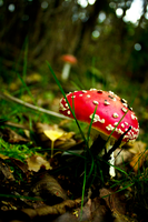 Fly Amanita by the-awaken