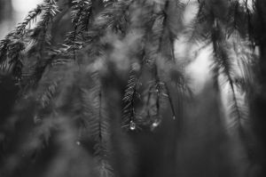 Frost Will Dry Your Tears, Little Spruce by ObservableUniverse