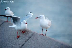 Silver Gull - 02 by shiroang