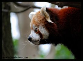 red panda profil by morho