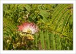 mimosa pudica by DanStefan