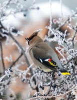 Bohemian waxwing - Frosted Berries by JestePhotography