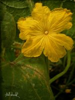 cucumber flower by ad-shor