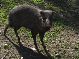 Collared Peccary 02 by animalphotos