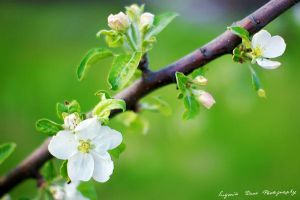 Apple tree blossom 124_366 by eugene-dune