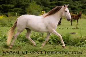 Gray BLM gelding trot extended by slime-stock