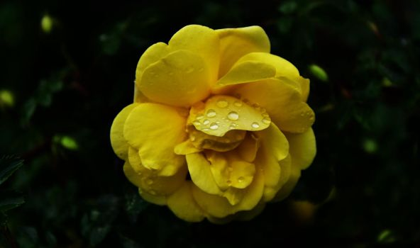 Rain on a Rose by Occamsrasr