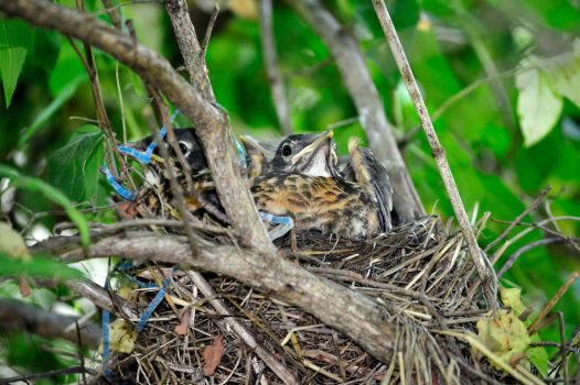 Baby Robins by beautythroughalens