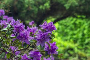 13-05 Rhododendron #1 by evionn