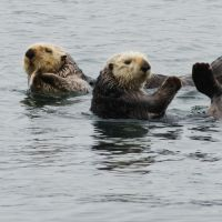 Sea Otters by dl-p