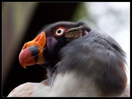 King Vulture I by Akulatraxas