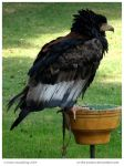 Bateleur Eagle by In-the-picture