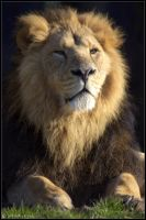 Asiatic Lion by lomoboy