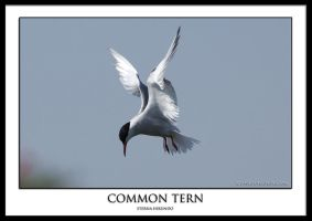 Common Tern.1 by THEDOC4