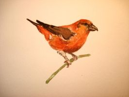 Crossbill by LikeBenjiReadingOvid