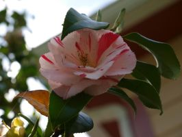 Camellia 08 by botanystock