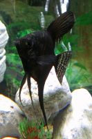 Angel Fish Stock 02 by DigitalissSTOCK