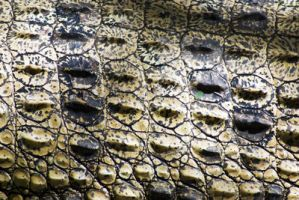 stock-Crocodylus porosus I by sevenbullsboy