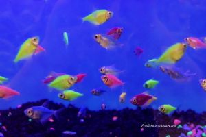 Stock - Glofish (Skirt Tetras) 6 by Pendlera