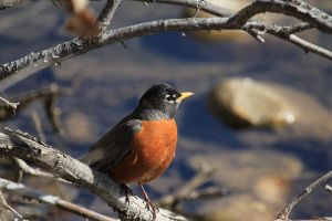 Spring time Robin by sgt-slaughter