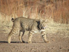 Bosque Bobcat by Canislupuscorax