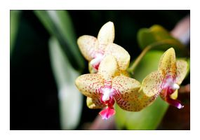FMG Orchid 1 by badman22