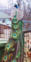 Peafowl 09 by FoxRAGE-Stock