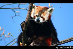 Lovely panda by AF--Photography