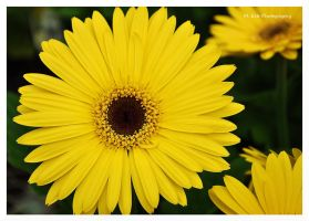 Mello Yellow by erbphotography