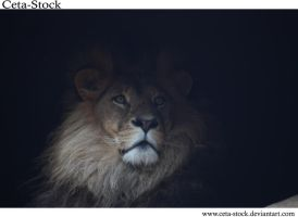 Lion 1 by Ceta-Stock