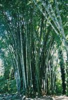 bamboo by CoColade