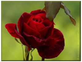 dark red rose of love by webcruiser