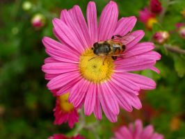 Bee on daisy by butenkof