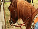 Chestnut Paint Horse by EquineGhost