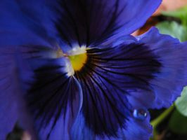 Pansy by KatHart