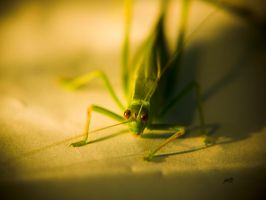 leaf insect shot 3 by jakwak
