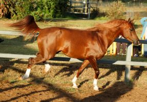 RA back legs up canter gallop by Chunga-Stock