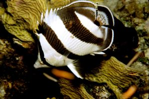 Butterfly Fish by Art-Photo