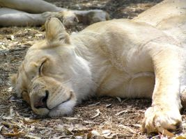 Sleeping White Female Lion SA by Jenvanw