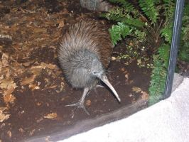 Avifauna: Brown Kiwi bird by SSJGarfield