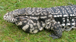 Argentine black and white Tegu by flippytiger