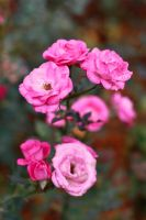 Pink roses by mellysa