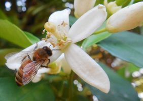 Bee's 033 by cervanphotos