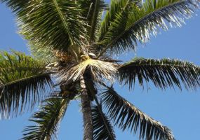 Hawaii Coconut Tree by jchau