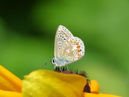 Common Blue Butterfly by Kitteh-Pawz
