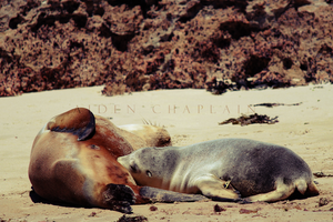Sea-Lion Pup drinking from it's mother by BoutABoy