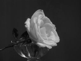 Sparkling rose in black and white by DanicaWish