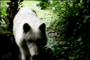 Arctic Wolf 1 by Canisography
