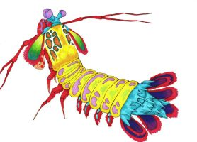Peacock Mantis Shrimp by Allison-beriyani