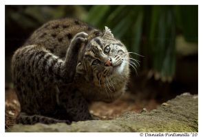 Fishing Cat Yoga by TVD-Photography